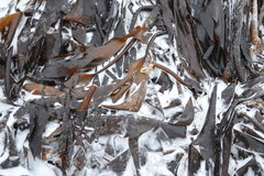 Laminaria in the snow, waiting to be dried and milled.